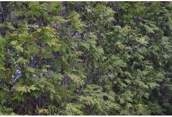Mooie groene coniferen (Thuja's) - DSC_4928