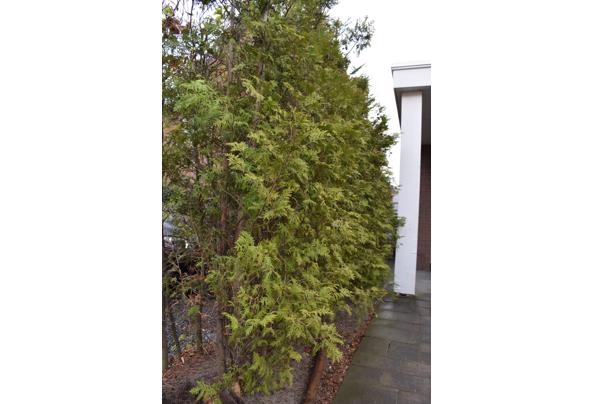 Mooie groene coniferen (Thuja's) - DSC_4929