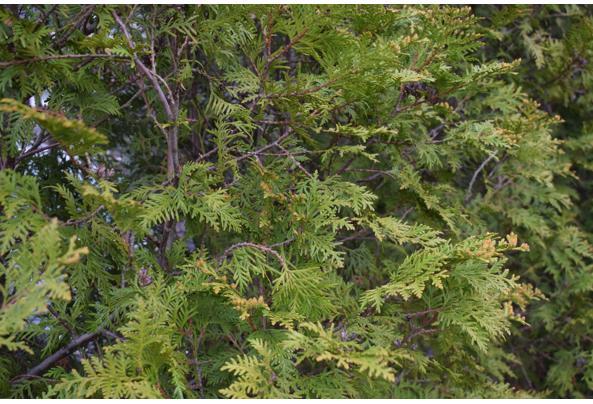 Mooie groene coniferen (Thuja's) - DSC_4930
