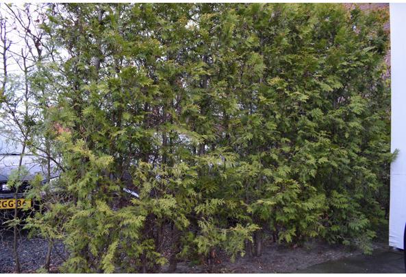 Mooie groene coniferen (Thuja's) - DSC_4931
