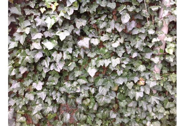 Jonge hedera planten 3jaar oude stekken - IMG_0345_637519223928082669