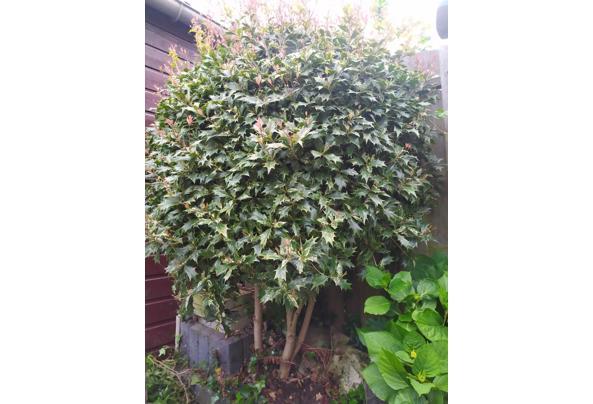Hulst boomop stam (Ilex aquifolium) - Hulst-boompje-op-stam