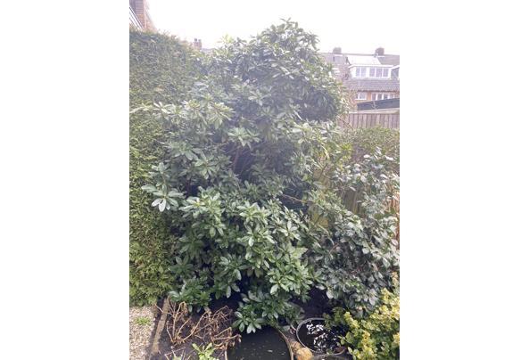 Gratis diverse planten & struiken - IMG_3373.JPG