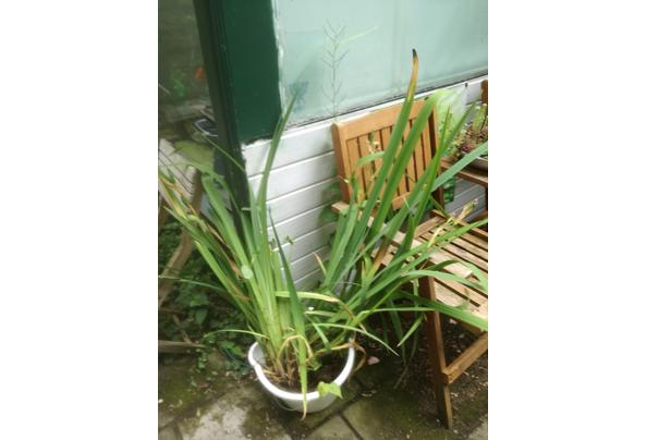 Gele Lis planten overcompleet na bloei - IMG_20210623_110147