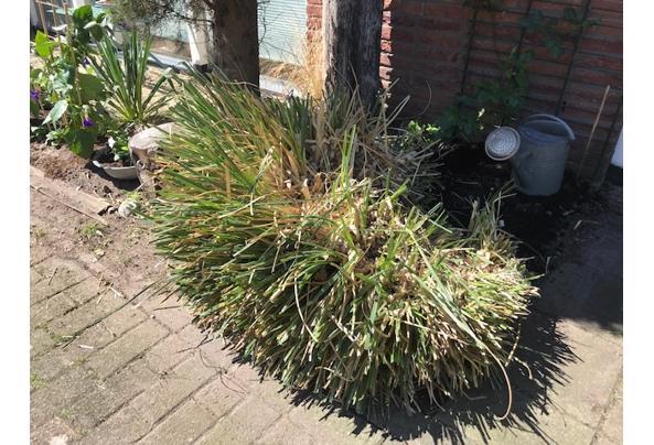 Tuinplant pluimen, Cotaderia, Pampasgras  - IMG_1158