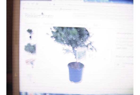 Struiken en Bomen Eucalyptus - 004.JPG