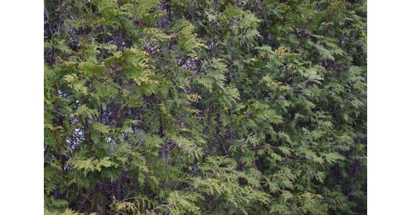 Mooie groene coniferen (Thuja's)