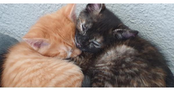 4 kittens van 7 weken